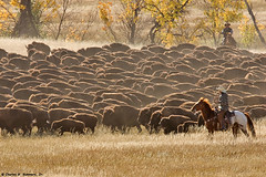 Cowboys keeping the Buffalo herd together and moving KF5P0572 | by WildImages