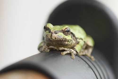 Tree Frog Just On Our Hanger / ハンガーラック上の雨蛙 | by ichico