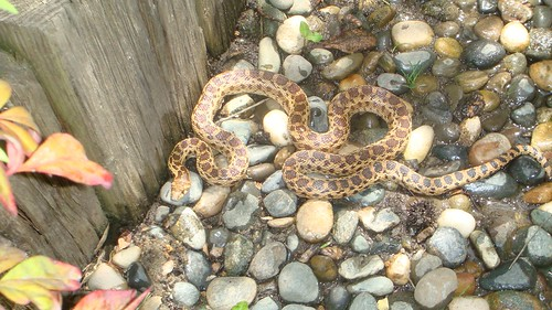 gophersnake, clinton collier | by Contra Costa Times