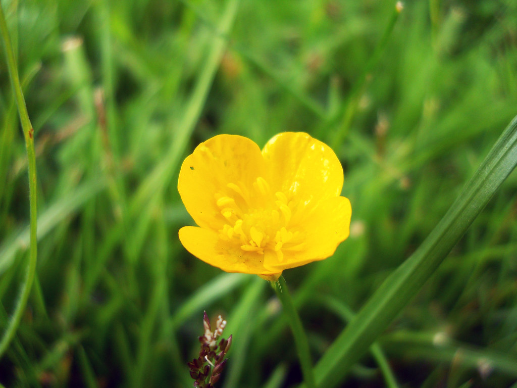 Little Flower 1 Yellow Flower On Green Grass Free Image F Flickr