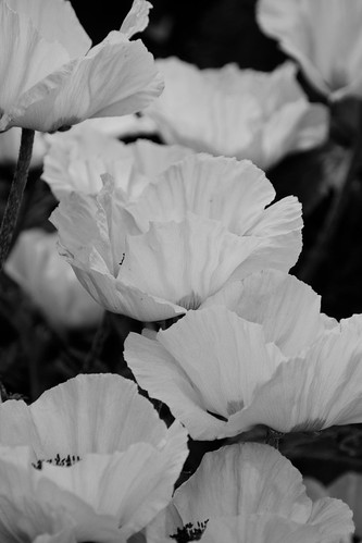 BW Poppies | by C_B_Images