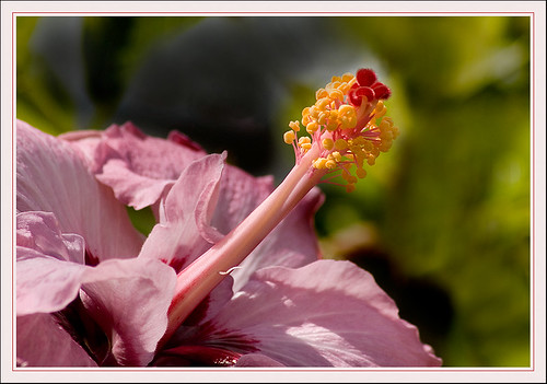 Hibiscus | by Rainer Fritz