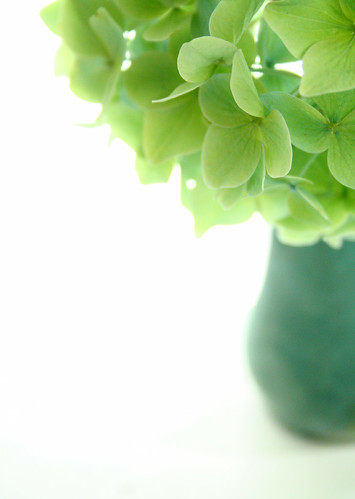 Blue hydrangea goes green | by Something To See