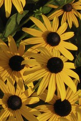 Black-Eyed Susans | by cdbeowulf