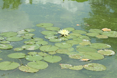 Lily Pads & Yellow Flower