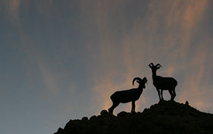 Bighorn Sheep | by 4Durt