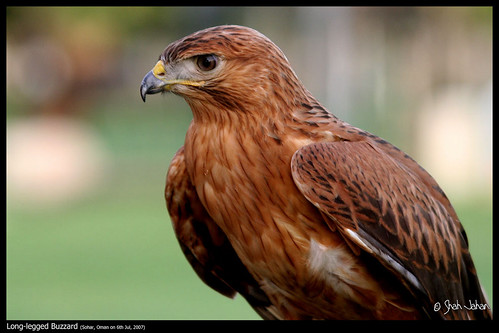 Long-legged Buzzard | by sjahanmi