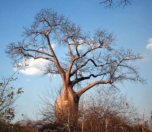 baobab tree | by litrate