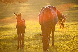 Mare and Colt, backlit with lens flare. | by J e n s