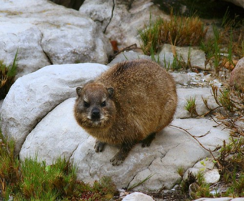 Cape Hyrax - you lookin' at me? | by ConcordantAngle