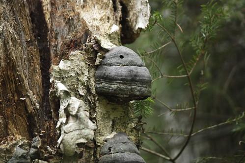 Hoof Tinder Bracket Fungus
