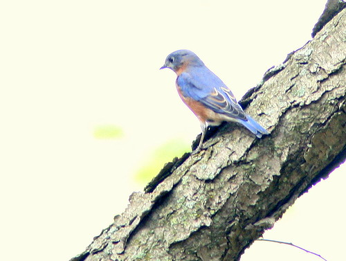 Eastern Bluebird 3-20101024 | by Kenneth Cole Schneider