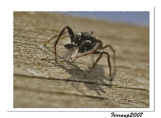 monstres 133 - monstruos - monsters - crab spider on the lunch | by ferran pestaña