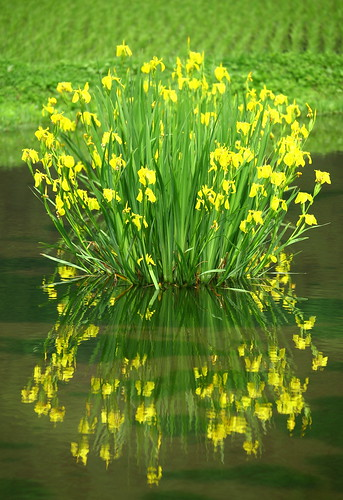 a Narcissus | by ♥ Spice (^_^)