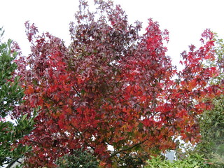 Image Result For How Much Liquidambar