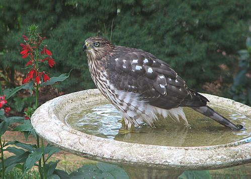 juvenile coopers hawk | by johnbird30