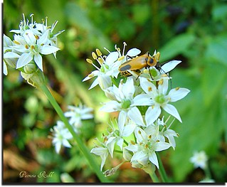 Buggie Garlic Chive Flowers! | by swt snookie