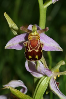 Bee Orchid---Typical | by Barry Cornelius