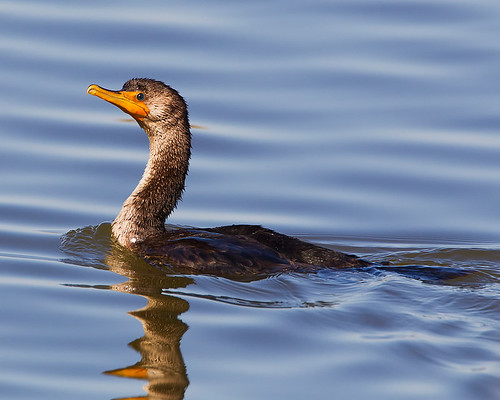 Double-crested Cormorant | by Art-