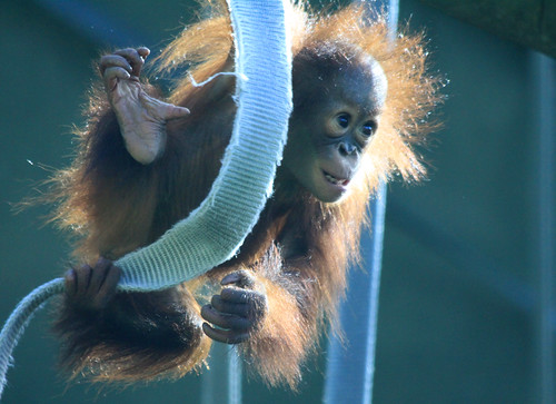 Baby Orangutan | by Just Wow 600K+ views! christopherwrightphotography
