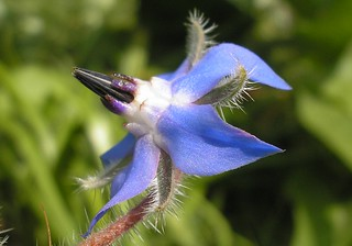 borage | by buttersweet