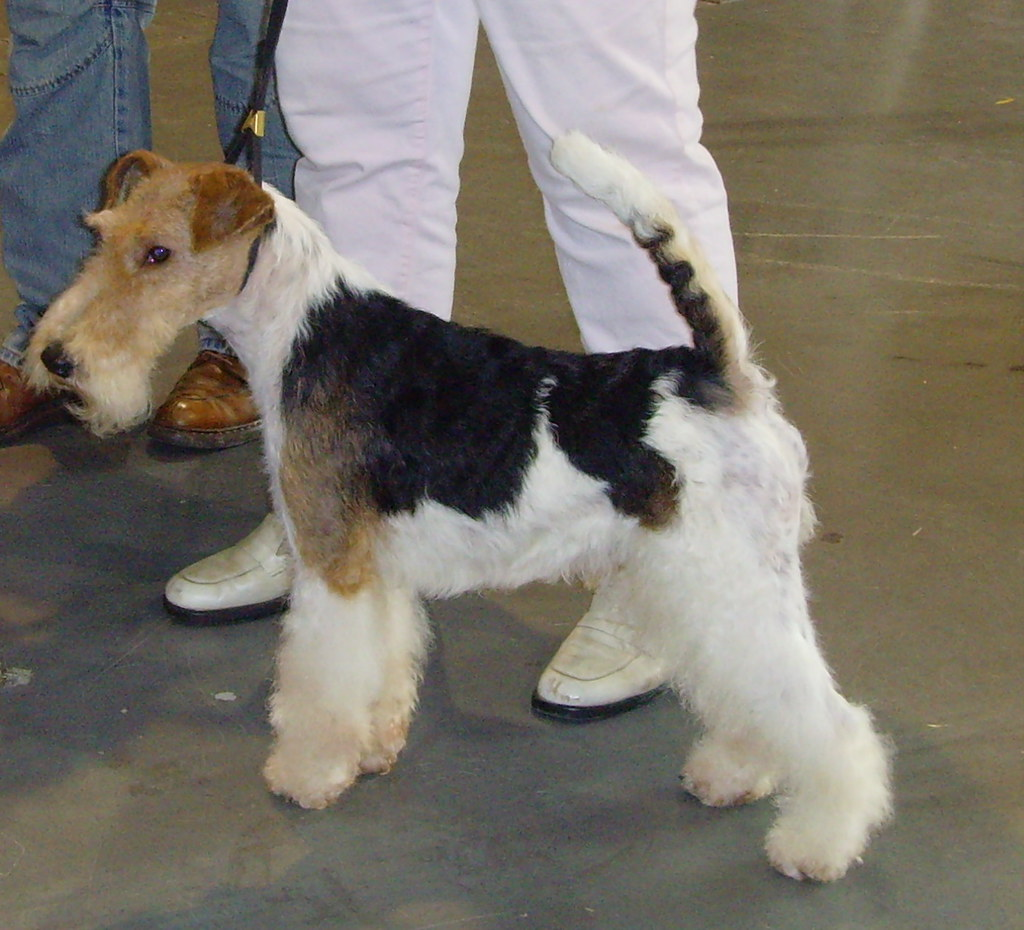 Wire Fox Terrier | NicePics | Flickr