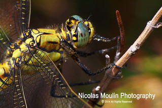 Orthetrum cancellatum | by Nicolas Moulin (Nimou)