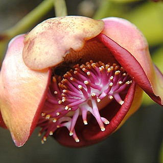 The strange and exotic blossom of the Cannonball tree | by jungle mama