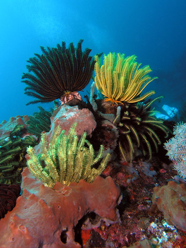 Feather stars | by Coppertane
