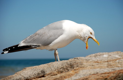 Seagull 3 | by stevegarfield