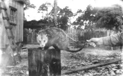 A very unhappy possum | by State Library and Archives of Florida