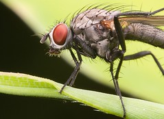 Fly having a scratch | by Robert Seber