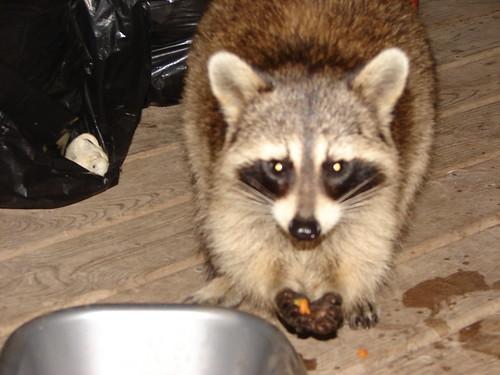 Raccoon Stealing Cat Food Voice Over Black Guy