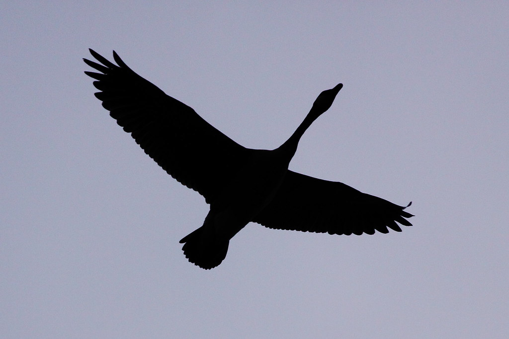 canada goose silhouette by robman170 canada goose silhouette by robman170