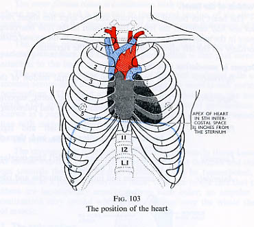 Position of the heart.   from Foundations Of Anatomy & Physi…   Flickr