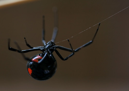 Southern Black Widow | by rivadock4