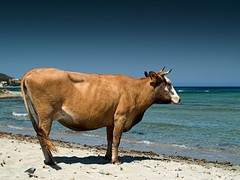 she see the sea (beach Cow) | by pierluigi.ricci