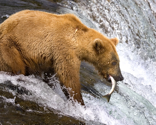 Grizzly Catching Salmon | by Rob Kroenert