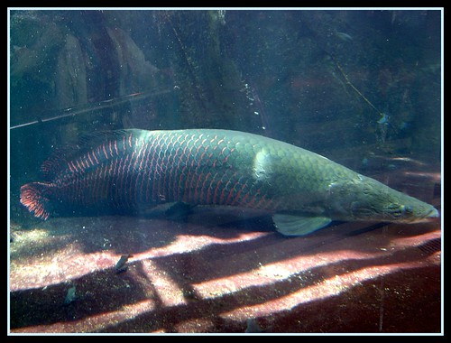 pirarucu amazon river fish these large fish were in the