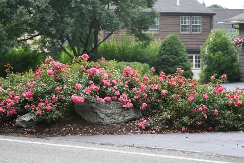 почвопокровные розы на даче