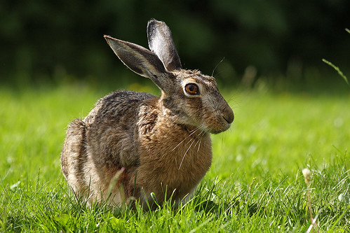 Brown Hare | by Olli38