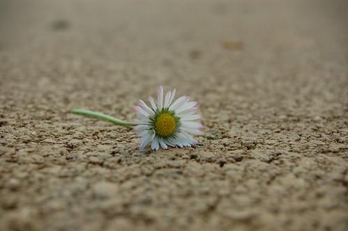 Florecilla en el suelo desde el suelo la margarita for Suelo besar el suelo xd