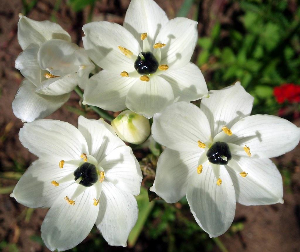 White Flowers With Black Centre Maria Slominski Flickr