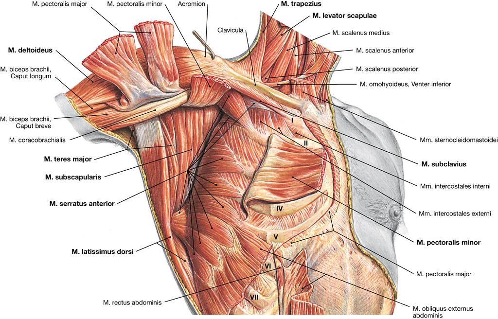 Atemberaubend Bild Der Schulter Anatomie Ideen - Anatomie Von ...