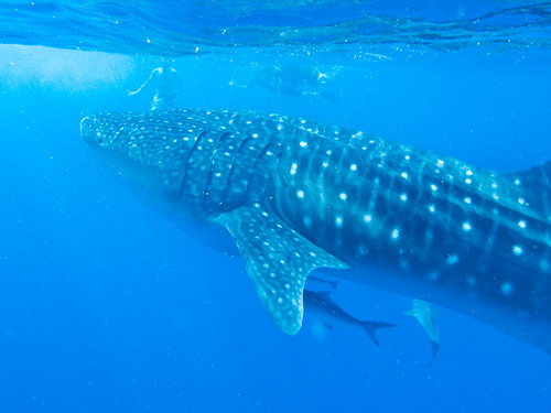 Snorkelling with the whale shark | by Julie Edgley