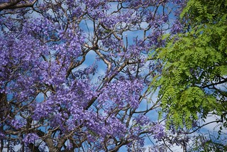 Jacaranda and Tipa | by blmurch