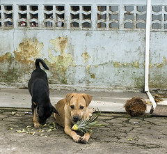 doggys eating pineapple | by budak