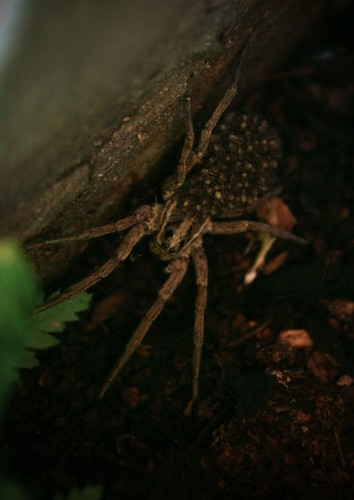 wolf spider with babies | by hellgah!