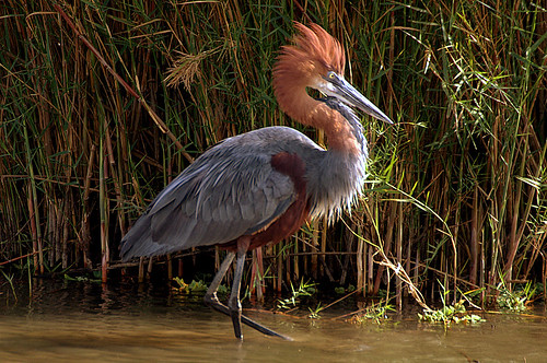 Goliath Heron (Ardea goliath) | by Arno Meintjes Wildlife