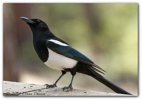 Black-billed magpie | by Tundra Winds Images by Donna